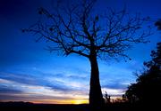 Carousel boab tree near kununurra