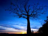 Small thumb boab tree near kununurra