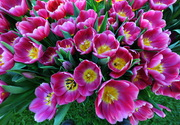 Carousel_melbourne_flower_show_-_tesselaar_tulips_on_display_-_matt_deller