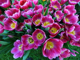 Small thumb melbourne flower show   tesselaar tulips on display   matt deller