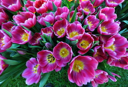Tour thumb melbourne flower show   tesselaar tulips on display   matt deller