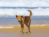 Small thumb 131612 4 dingo  fraser island   photo jewelszee photograhy tourism and events queensland