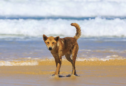 Tour thumb 131612 4 dingo  fraser island   photo jewelszee photograhy tourism and events queensland