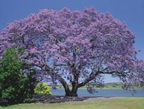 Tours to Jacaranda Festival at Grafton from Brisbane 2021 - Photo